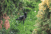 A young chick magpie in the grass. Crow looks surprised. Bird in the forest