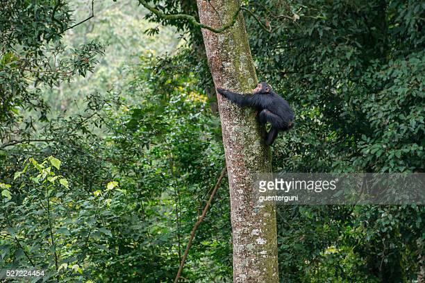 Young chimpanzee climbing in a tree, wildlife shot, Nyungwe, Rwanda