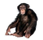 Joven chimpancé-Simia troglodytes (5 años
