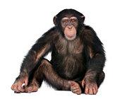 Junge Schimpansen-Gattung Simia troglodytes, 5 Jahre