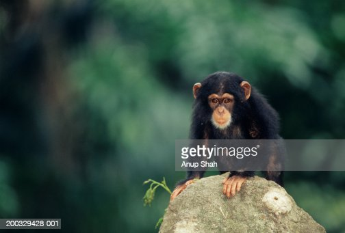 Young chimpanzee (Pan troglodytes) standing on stone on all fours, close-up : Stock Photo