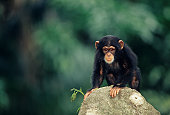 Young chimpanzee (Pan troglodytes) standing on stone on all fours, close-up