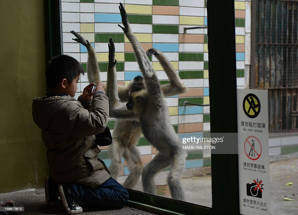 A young Chinese boy (L) photographs White-Cheeked Gibbons at the Beijing Zoo on January 21, 2013. The zoo grounds were originally a Ming Dynasty imperial palace and finally opened to the public in 1908. The zoo's history states that during the WWII, most of the zoo's animals died of starvation with only 13 monkeys and one old emu surviving the war. AFP PHOTO/Mark RALSTON