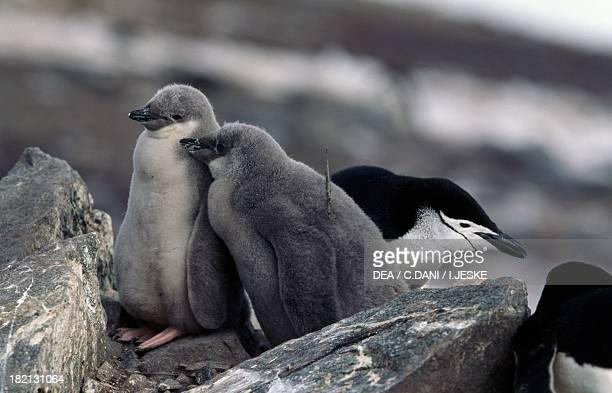 Young Chinstrap Penguins Spheniscidae Half Moon Island Antarctica