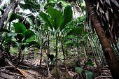Young Coco de Mer Palms are pictured at the Vallee de Mai natural reserve a UNESCO Heritage site on Praslin island on March 6 2012 Bursts of...