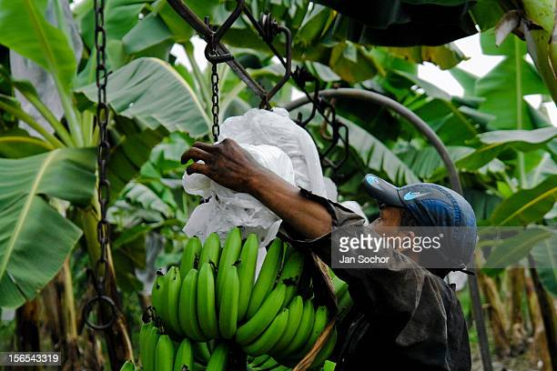 A young Colombian worker hangs up a bunch of bananas on the aircable at a banana plantation on March 14 2006 in Aracataca Colombia Eighty percent of...