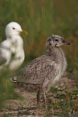 Young Common Gull (Larus canus), Bremen, Germany, Europe