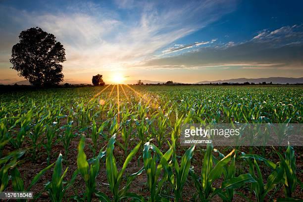 Jungen Corn Field