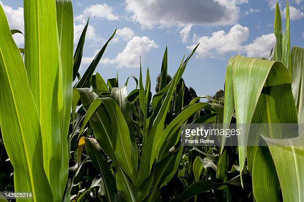 young corn plants photographed outside on a field