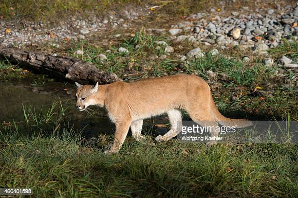 Young cougar Montana United States