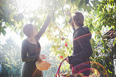 Young couple picking apples from tree