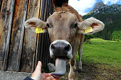 A young curious brown cattle sticks out her tongue and licks the photographer's hand
