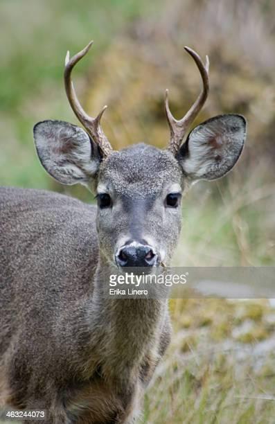 Young curious deer