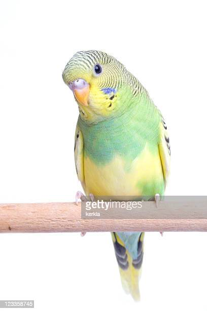 Young cute Budgie