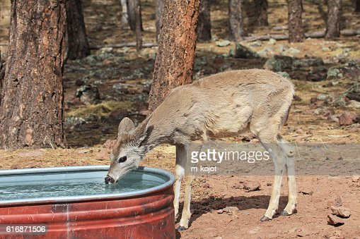 Young deer drinking water : Stock Photo