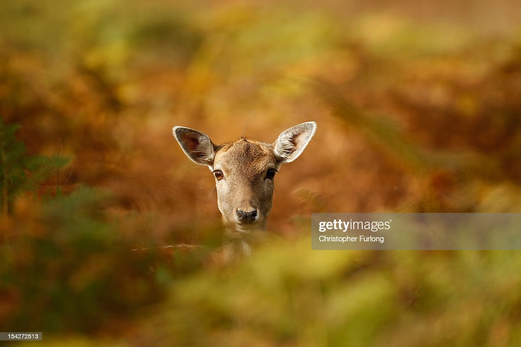 A young deer hides amongst the autumnal bracken at the National Trust's Dunham Massey park on October 17, 2012 in Knutsford, England. As summer draws to a close the cooler temperatures bring on the Autumn foliage colours.
