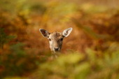 A young deer hides amongst the autumnal bracken at the National Trust's Dunham Massey park on October 17 2012 in Knutsford England As summer draws to...