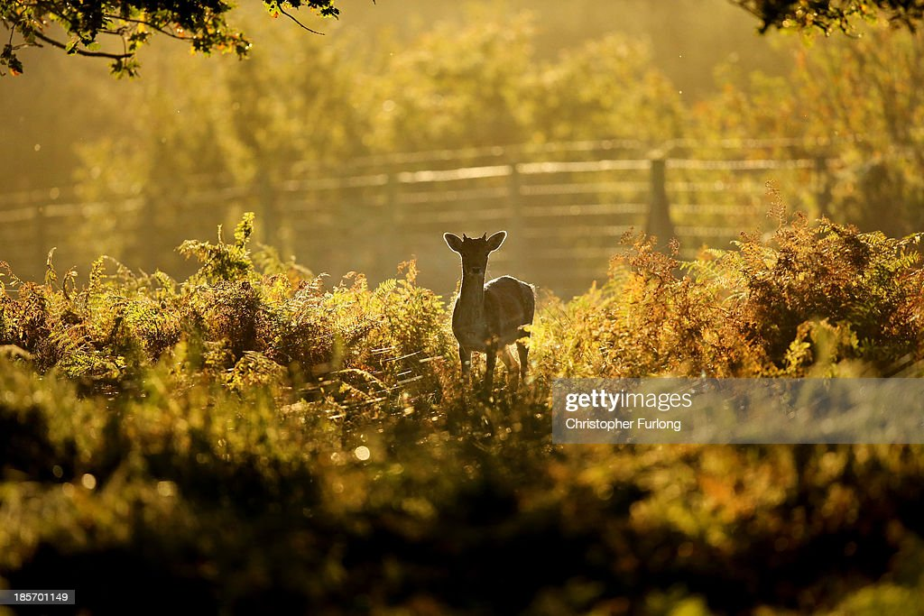 A young deer hides amongst the autumnal bracken at the National Trust's Dunham Massey park on October 24, 2013 in Altrincham, United Kingdom. The mild weather in the United Kingdom has delayed Autumn by up to two weeks according to statistics by The Woodland Trust. As cooler temperatures arrive the UK is beginning to glow with Autumn colours.