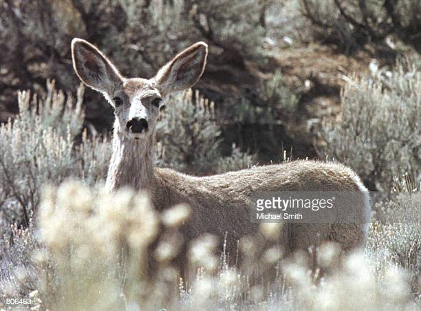 A young deer is spooked while walking through sagebrush April 19 2001 in Sublette County WY Environmentalists are concerned that the recent surge...