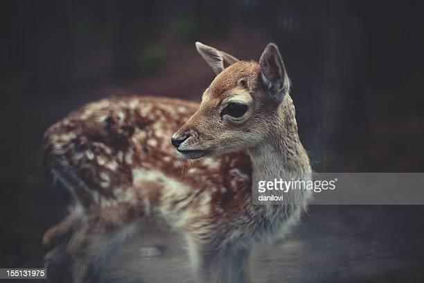 Jeune famille du cerf