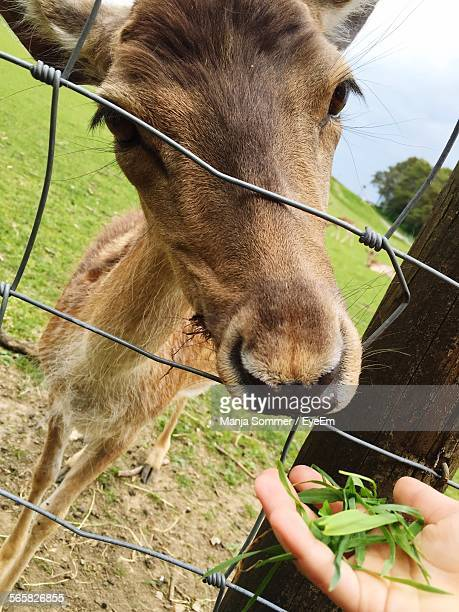 Young Deer Sticking Its Head Through Chain-Link Fence, Eating From Hand