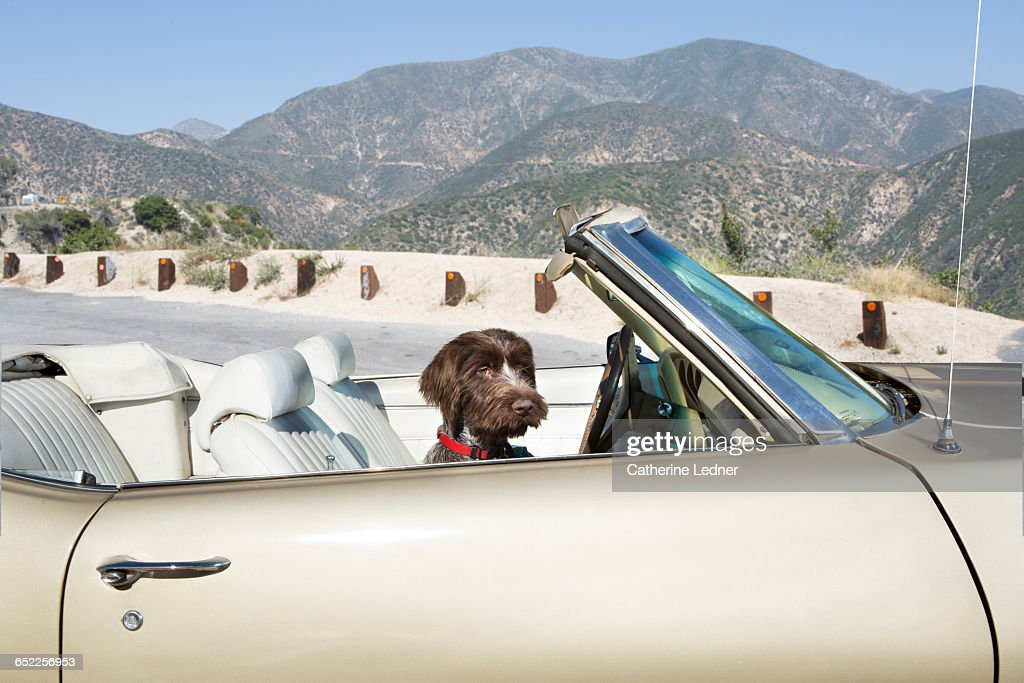 Young dog in vintage convertible in mountains