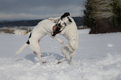 Young dogs playing in snow, Switzerland.