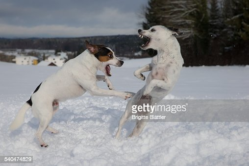 Young dogs playing in snow, Switzerland. : Stock Photo