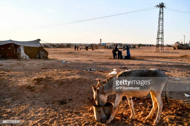 A young donkey eats at a makeshift camp on the outskirts of Raqa where Syrians displaced from the city of Deir Ezzor are taking shelter on October 11...