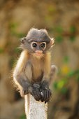 Young dusky leaf monkey sit down on the fence