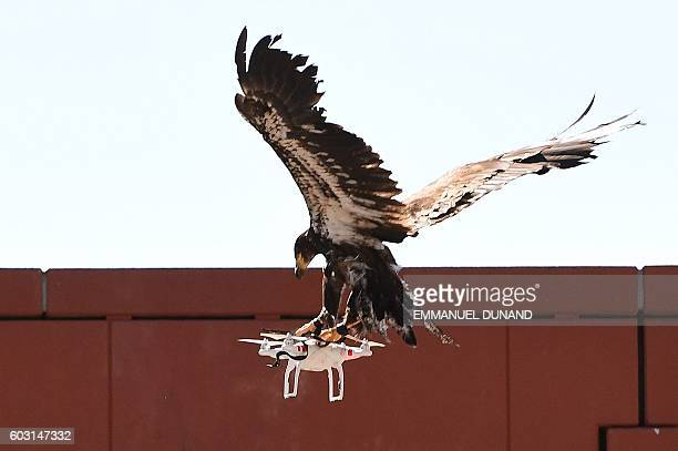 A young eagle trained to catch drones displays its skills during a demonstration organized by the Dutch police as part of a program to train birds of...