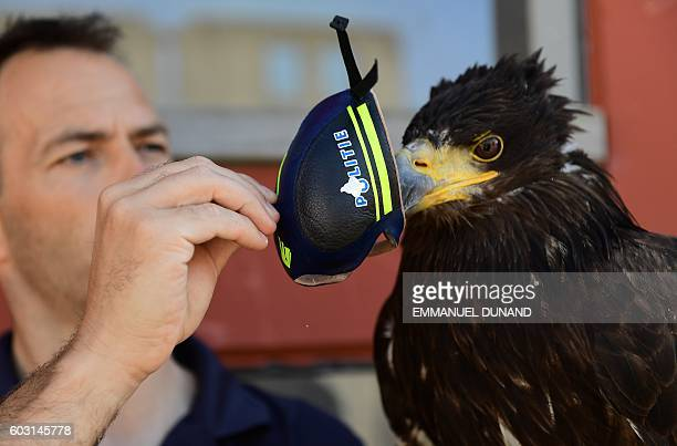 A young eagle trained to catch drones is presented during a demonstration organized by the Dutch police as part of a program to train birds of prey...