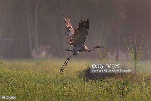 Young eastern Sarus Crane (Grus antigone) which extinct in the wild in the 1980s was release to nature at Huay Jorrakaemak Reservoir Non-Hunting Area,Burirum,Thailand
