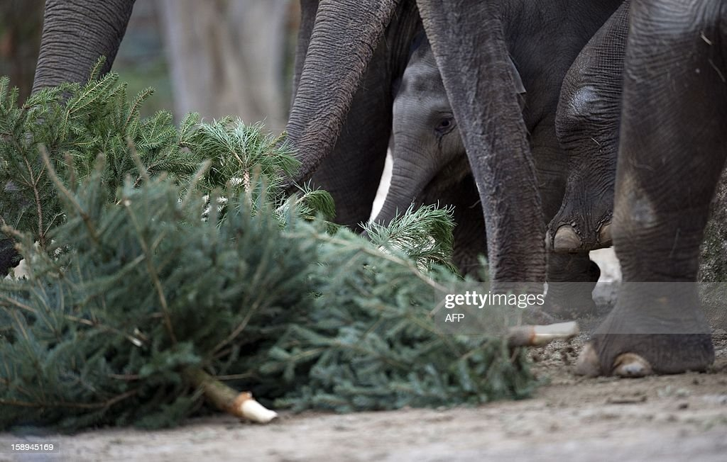 Young elephant Anchali (C) and adult elephants play with Christmas trees on January 4, 2013 at the Zoologischer Garten zoo in Berlin. Traditionally, elephants at the Berlin zoo are given for food the trees that were left over from Christmas tree sale during the first days of January.