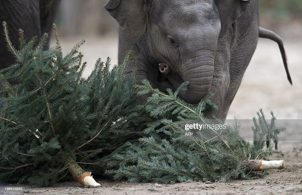 Young elephant Anchali plays with a Christmas tree on January 4, 2013 at the Zoologischer Garten zoo in Berlin. Traditionally, elephants at the Berlin zoo are given the trees that were left over from Christmas tree sale during the first days of January. AFP PHOTO / BARBARA SAX