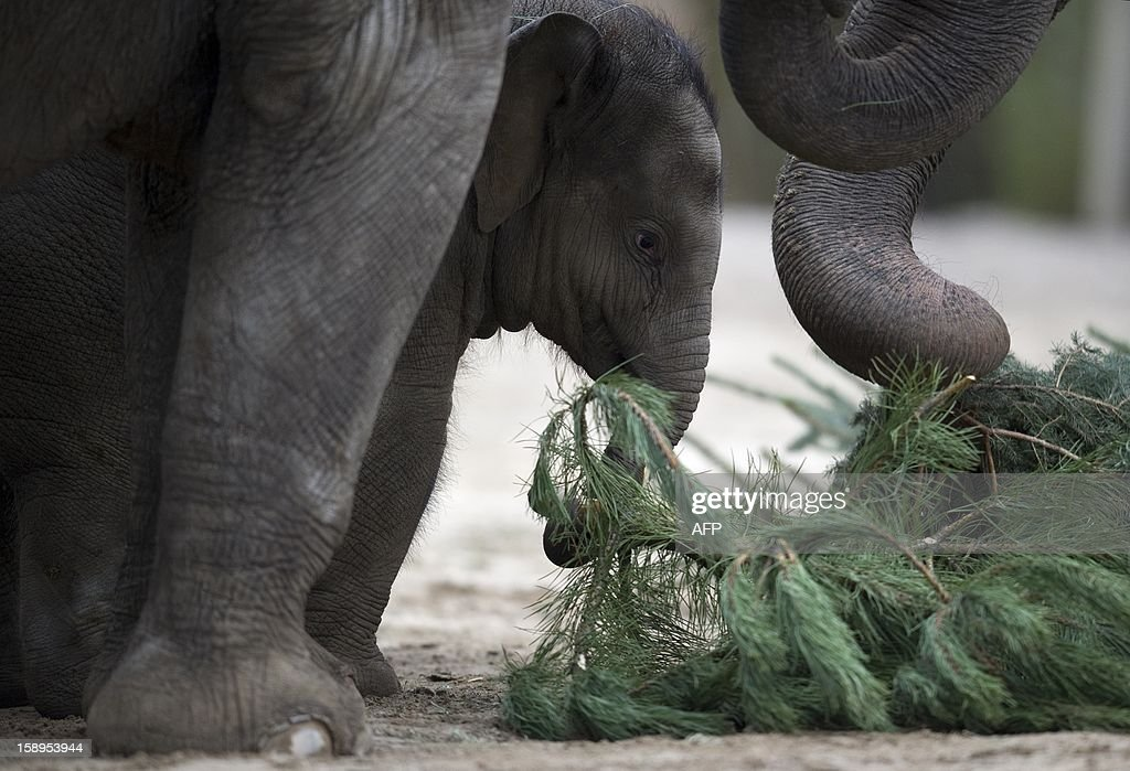 Young elephant Anchali plays with a Christmas tree on January 4, 2013 at the Zoologischer Garten zoo in Berlin. Traditionally, elephants at the Berlin zoo are given the trees that were left over from Christmas tree sale during the first days of January.