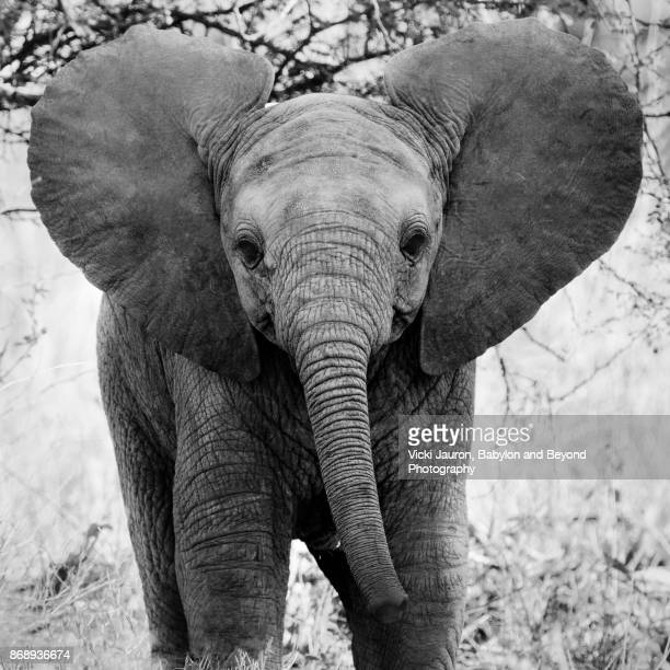 Young Elephant Looking Directly at Camera in Laikipia
