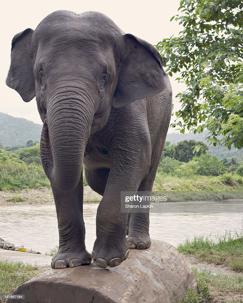Young elephant : Stock Photo