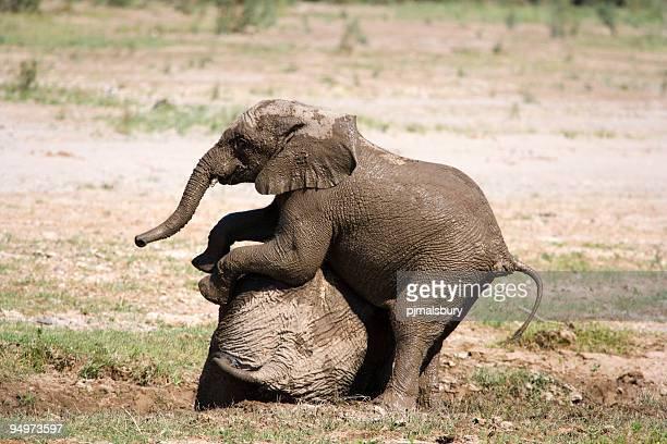 Jungen Elefanten spielen