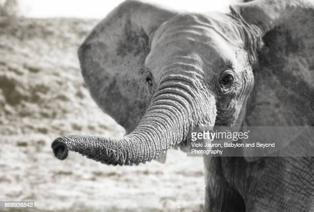 Young Elephant with Trunk Up in Laikipia, Kenya