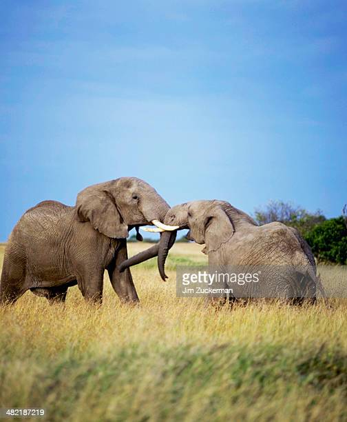 Young Elephants at Play
