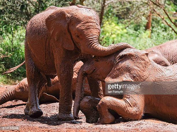 Young elephants play in a mudbath at the David Sheldrick Elephant Orphanage on February 23 2016 in Nairobi Kenya Founded in 1977 by Dr Dame Daphne...