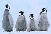 Young Emperor Penguins