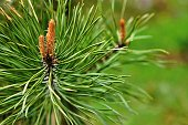 young escapes on green branches of a coniferous tree or a fir