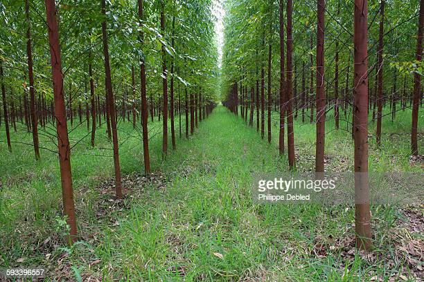 Young eucalyptus plantation, western Brazil