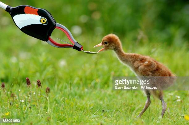 A young Eurasian Crane eats from a litter picker disguised as an adult crane at WWT Slimbridge in Gloucestershire