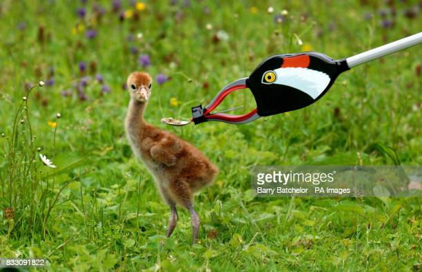 A young Eurasian Crane looks at a litter picker disguised as an adult crane that is offering food on a teaspoon at WWT Slimbridge in Gloucestershire