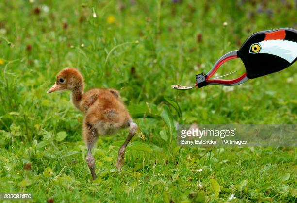 A young Eurasian Crane walks away from a litter picker disguised as an adult crane that is offering food on a teaspoon at WWT Slimbridge in...
