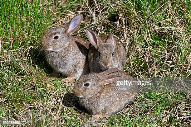 Young European rabbits in front of burrow entrance Germany
