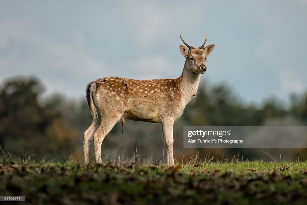 Young fallow deer stag : Stock Photo
